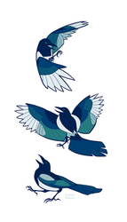 Studies - Magpie by oxboxer