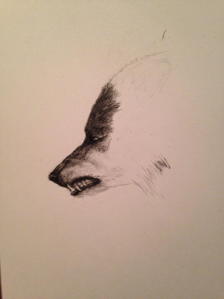 WIP-wolf in charcoal by pottenuss