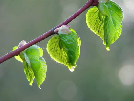 Triplet - Morning Dew