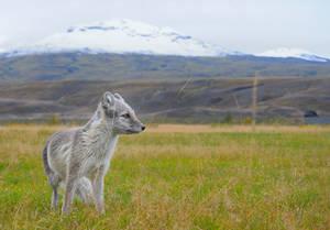 Artic Fox Adult Iceland