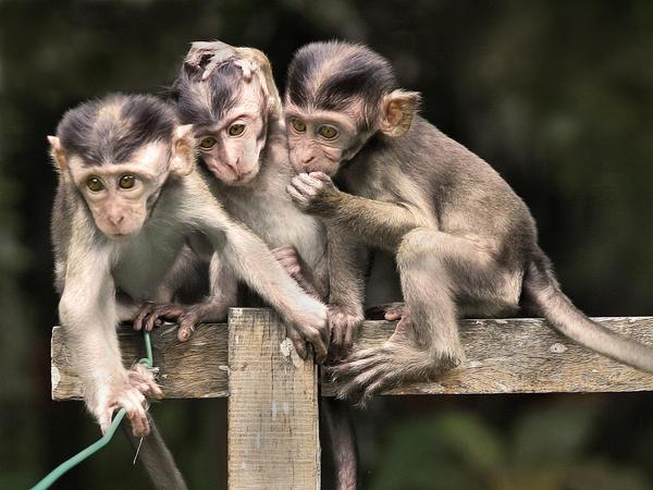 Three Baby Monkeys by aajohan