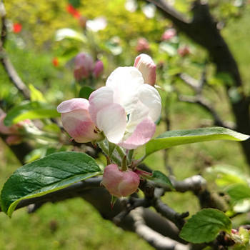 white apple blossom by adorell