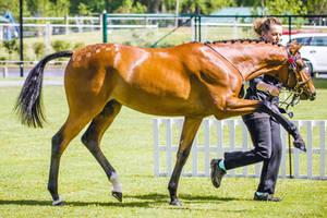 Bay Pony Pawing by DWDStock
