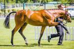 Bay Pony Pawing