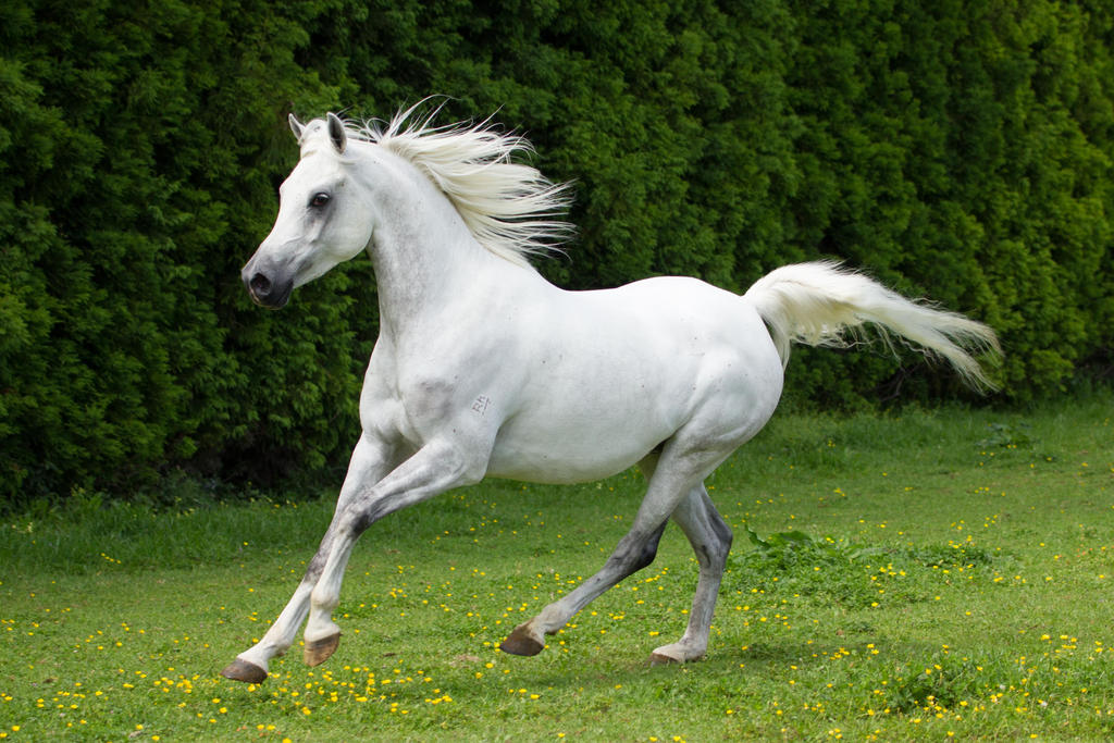 Grey arabian horse canter by dwdstock on deviantart - Arabian horse pictures ...
