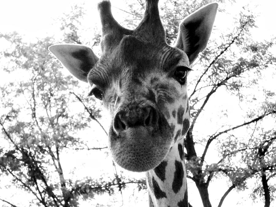 Black and white giraffe by zsurzsi