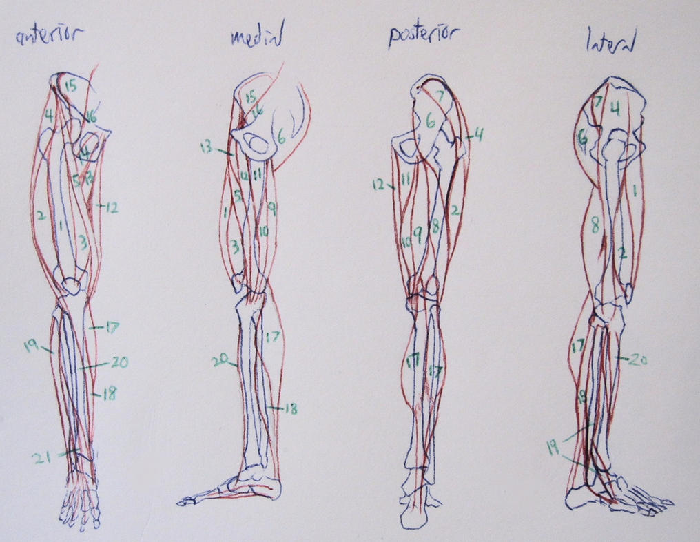 Leg Anatomy Notes by Soroneir on DeviantArt