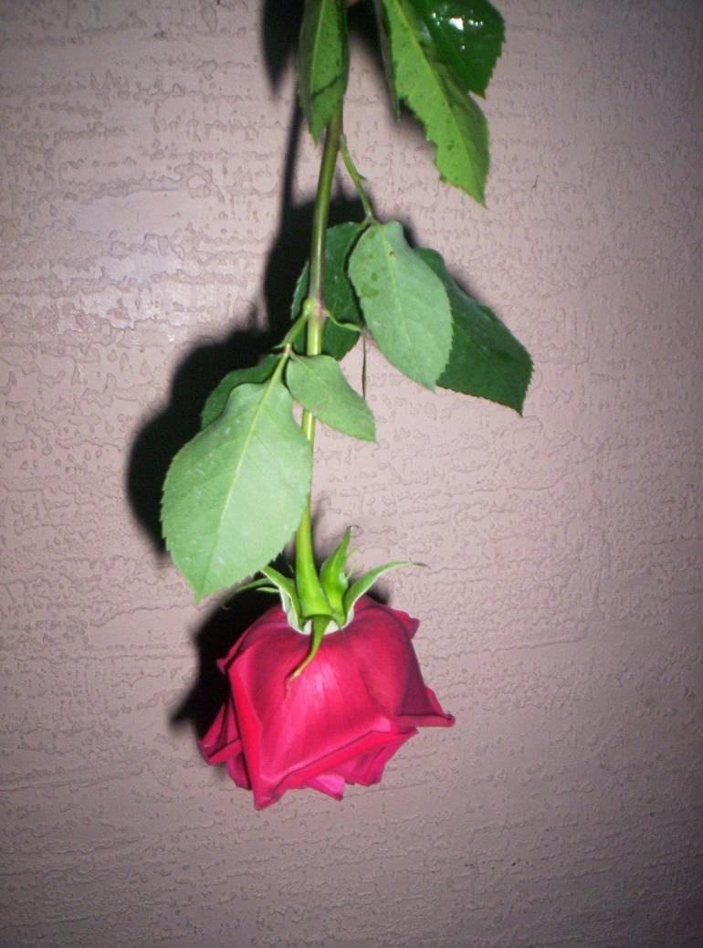 Upside Down Rose By Shabbyam On Deviantart