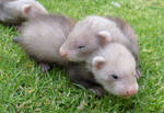 Ferret Babies on the Grass 7