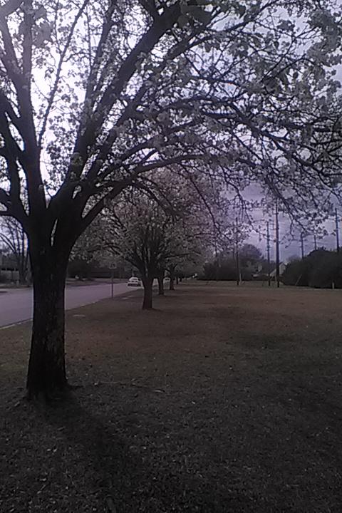 Row of flowering trees by EmanuelJones