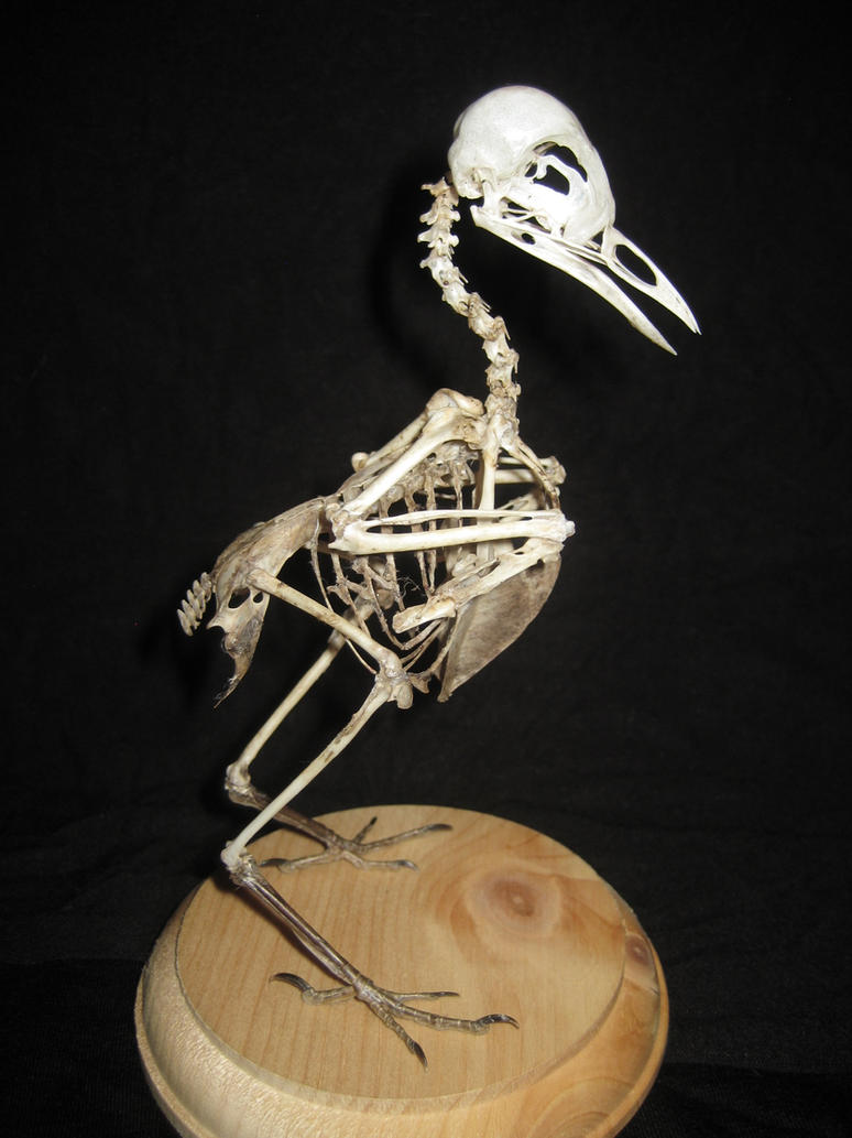 Robin Skeleton by ToothlessEgo