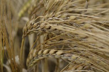 Ears of Corn by lurker-
