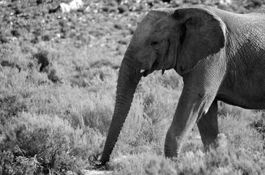 African Elephant, Aquilla. South Africa by lurker-