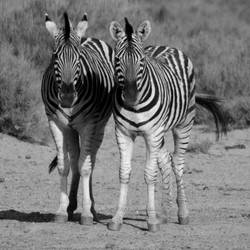 Zebra's, Aquilla, South Africa by lurker-