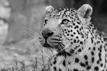 Leopard, Aquilla, South Africa (B+W) by lurker-