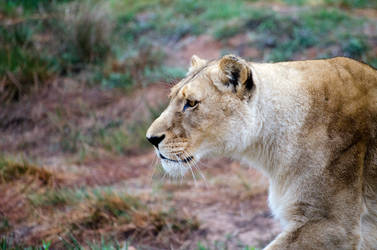 Lioness, Aquilla, South Africa by lurker-