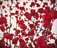 red rowan by Vurtov