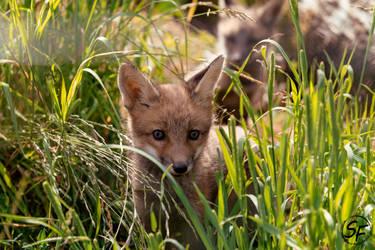 fox by Man90Ray