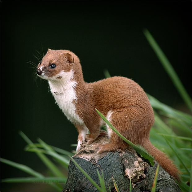 the weasel. by RowennaCox