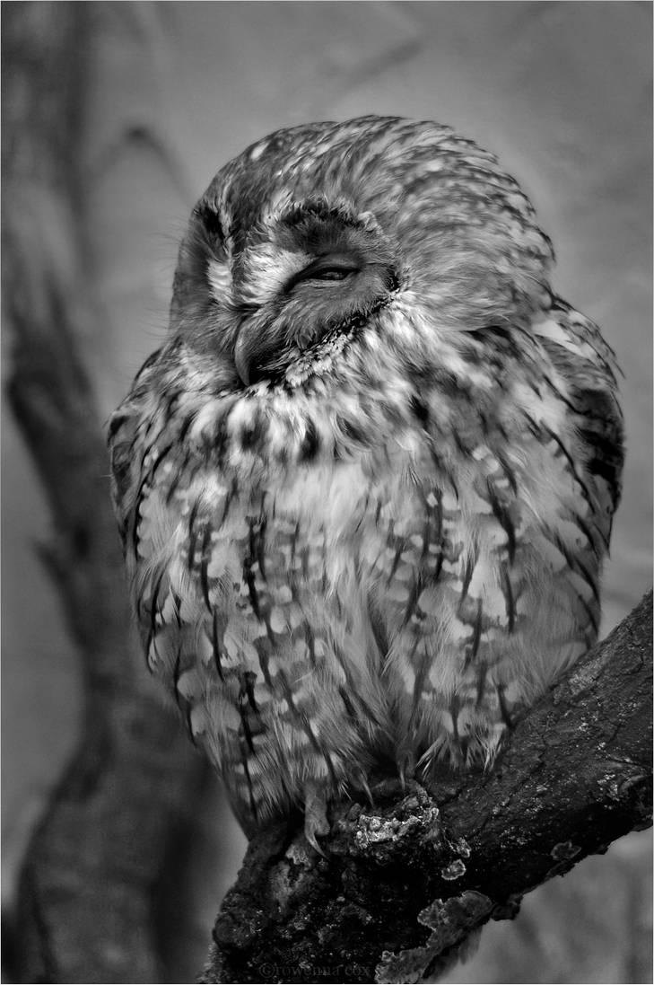 Tawny Owl by RowennaCox