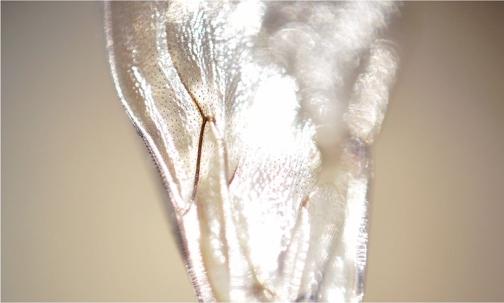 Bee Wing - Detail by RowennaCox