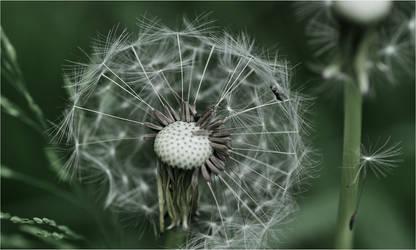Dandelion Seed Head by RowennaCox