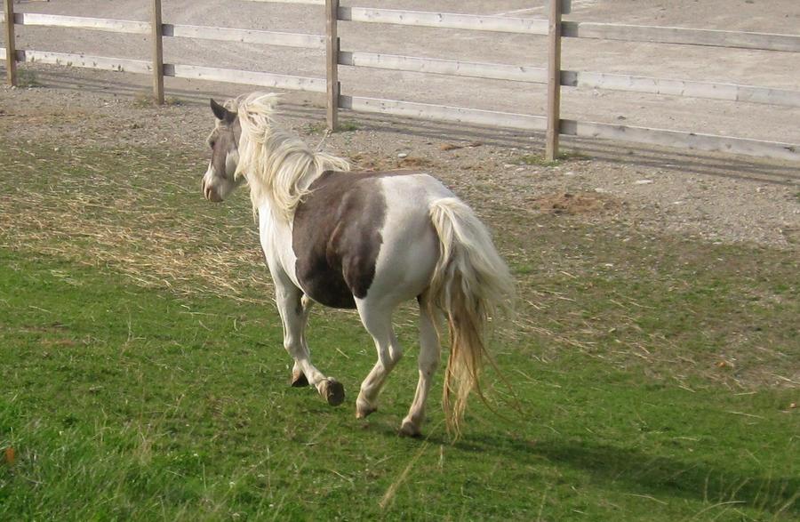Paint Horse Gallop by peachesrox-stock on deviantART