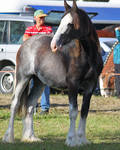 Clydesdale 001