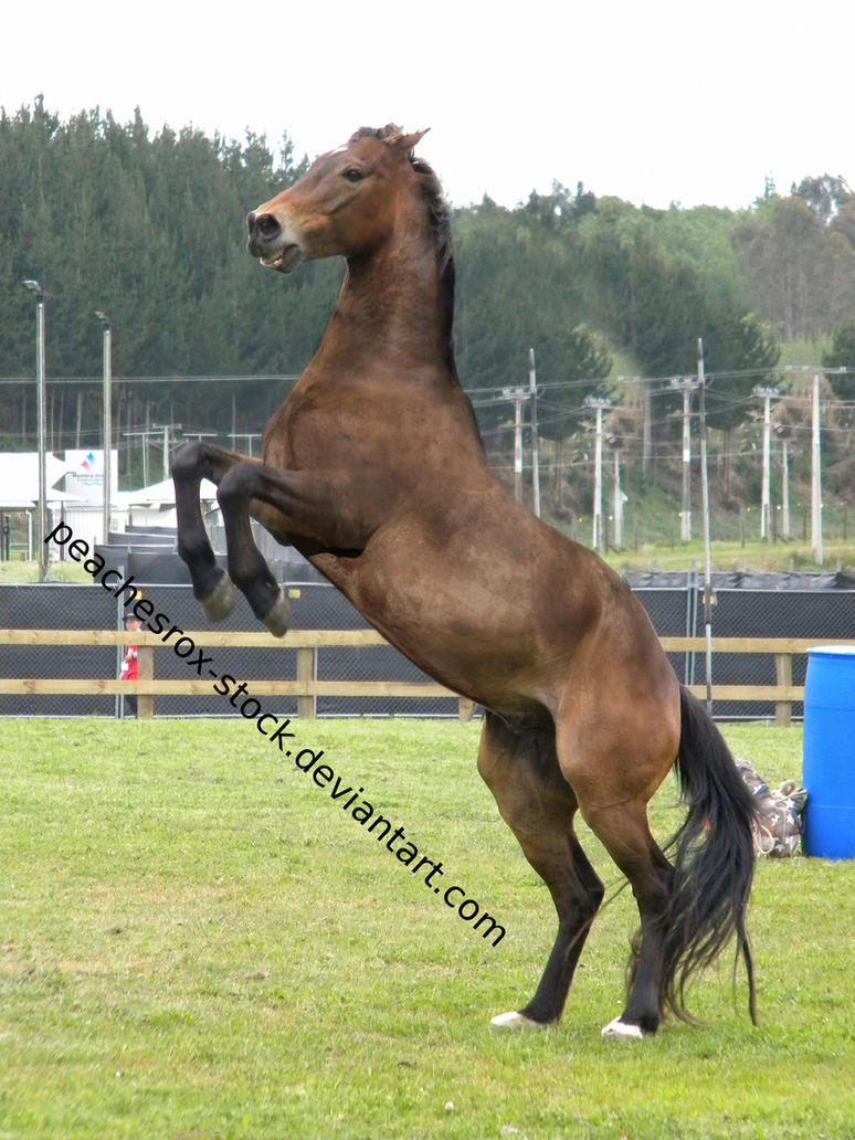 Horse Front Horse Rearing F...