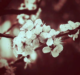 cherry flower by julkusiowa