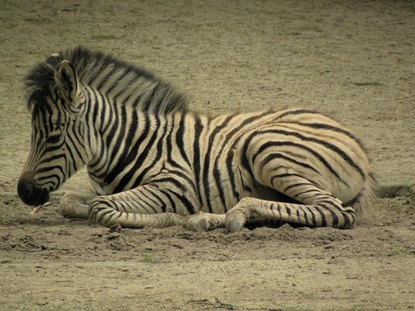 002 Zebra Foal Stock