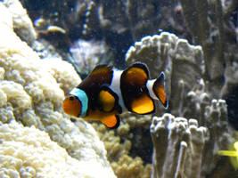 001 Clownfish Stock