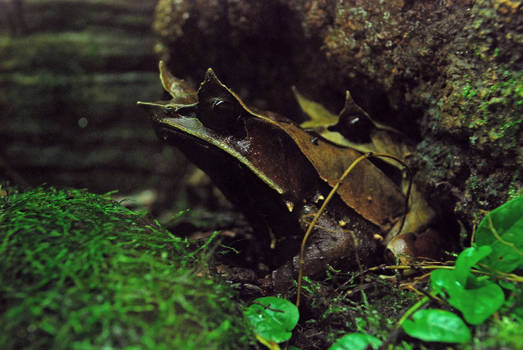 Malayan Horned Frogs