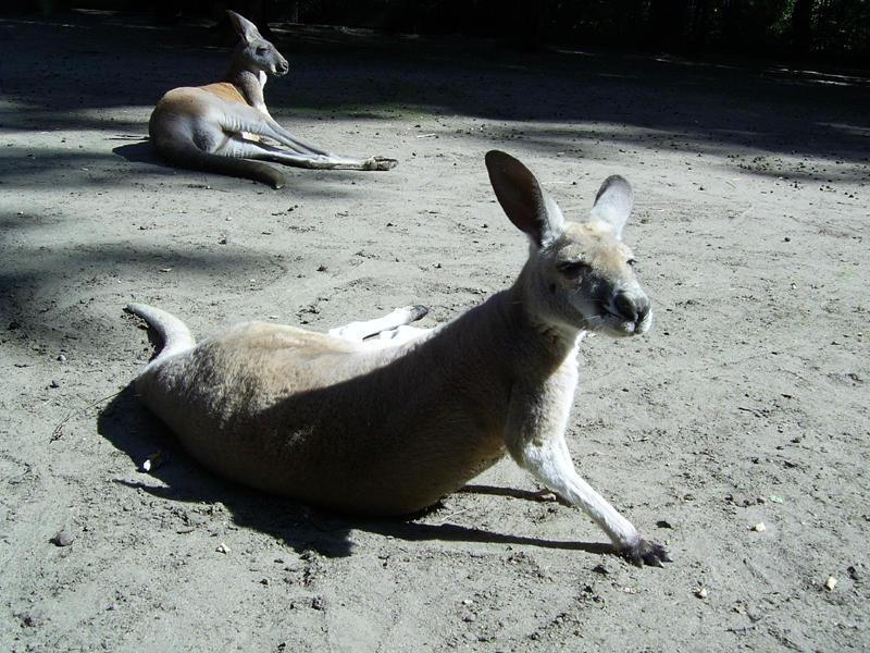 Kangury by nightmare7
