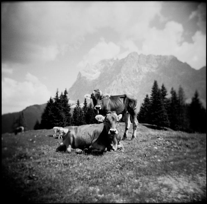 vacca, vacca by zuckerfuss