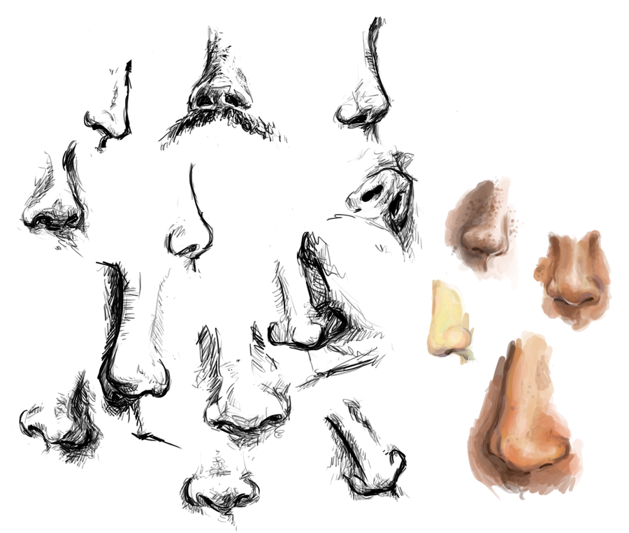 a study of the nose Anatomy of the human nose the visible part of the human nose is the protruding part of the face that bears the nostrils.