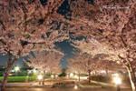 Sakura III by janurade