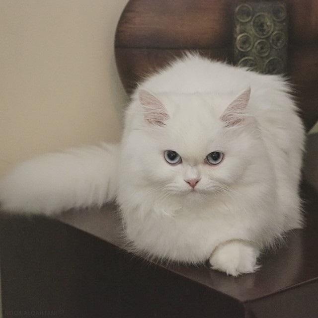 My Favorite ... White Persian Kitten