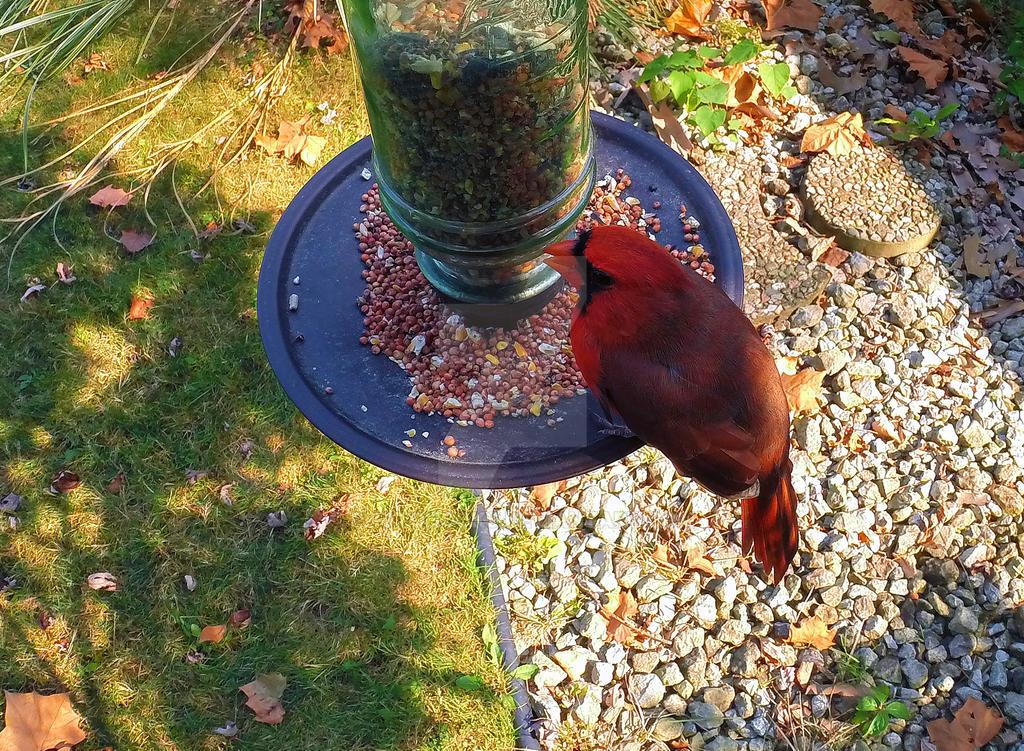 Cardinal-2 by photohooks