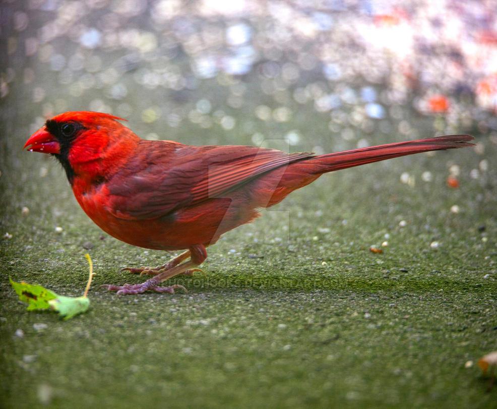 Cardinal by photohooks