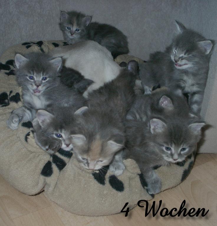 Maine Coon Kitten, 4 weeks old by Catskind on DeviantArt