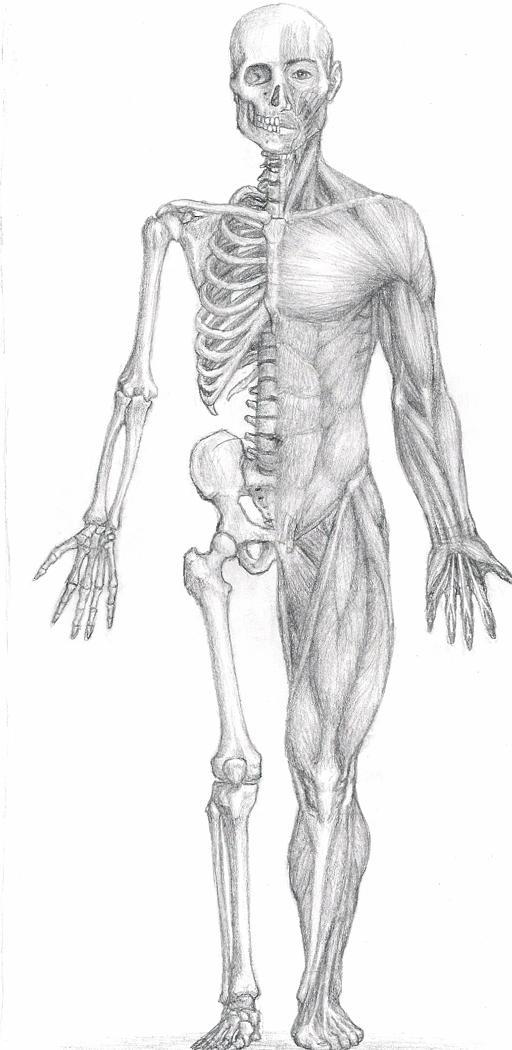 Anatomy Study by bronze-dragonrider