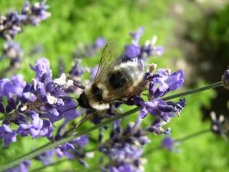 lavender bee by Mechor