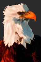 Bald Eagle by ArTomsey