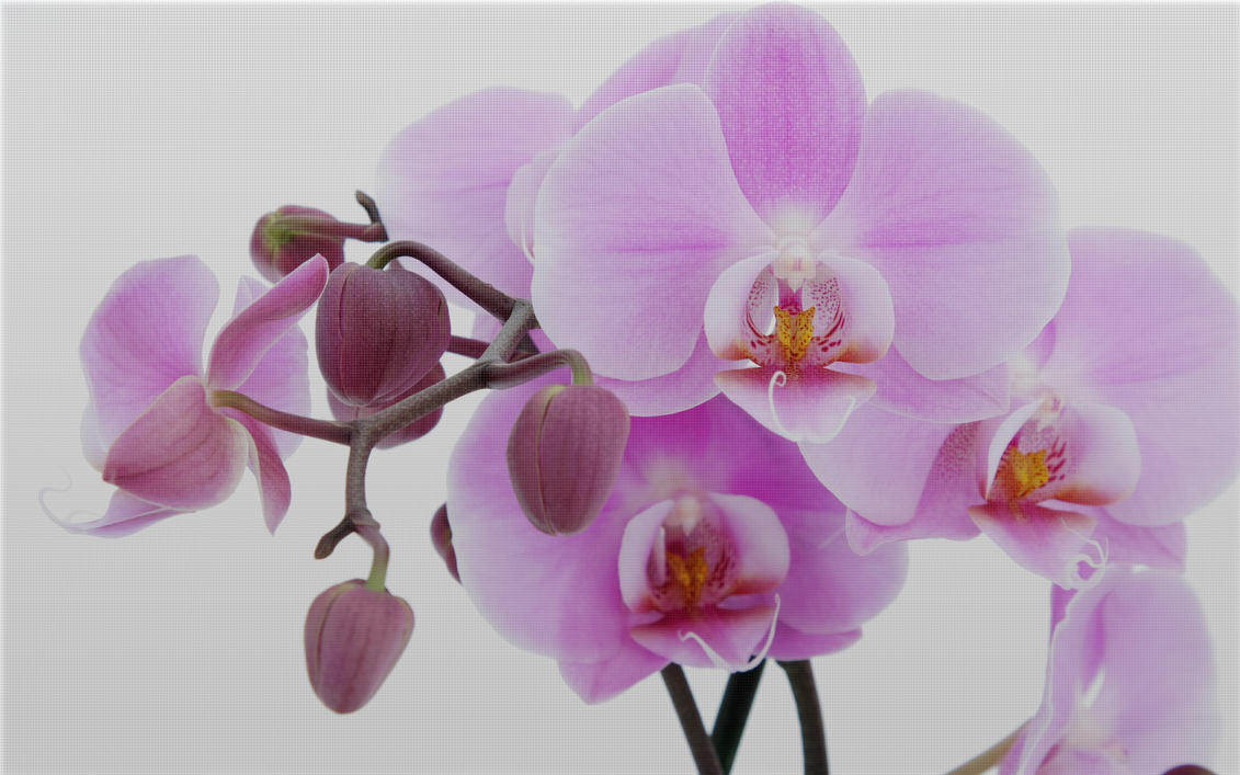 orchid by nucu