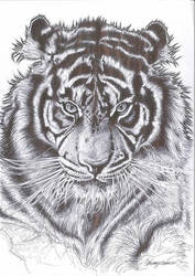 Tiger  by ultraseven81