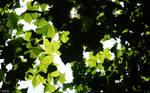 Leaves in Summer sunshine 01