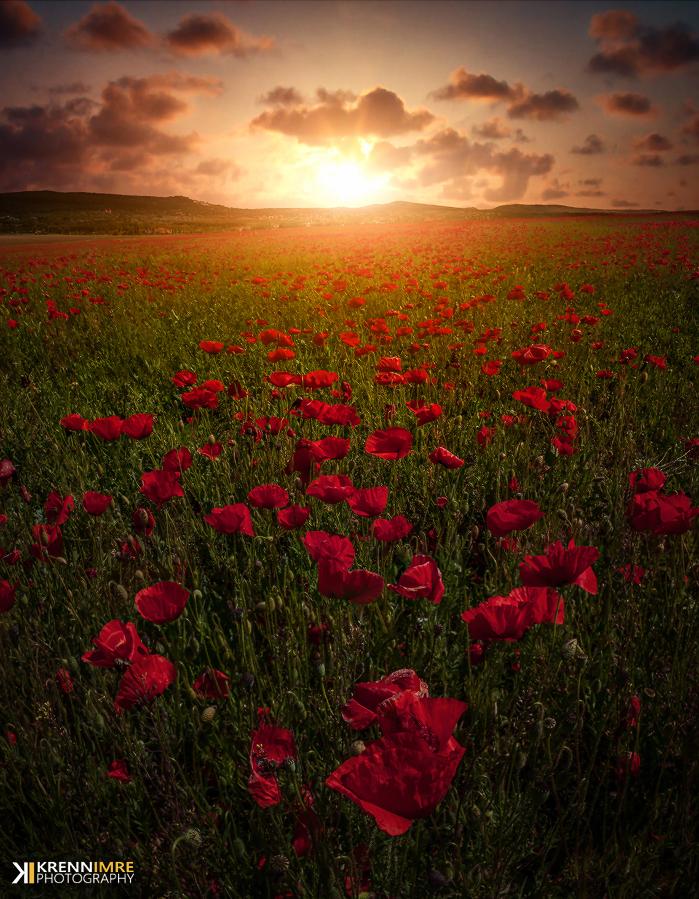 Poppy Love by piximi