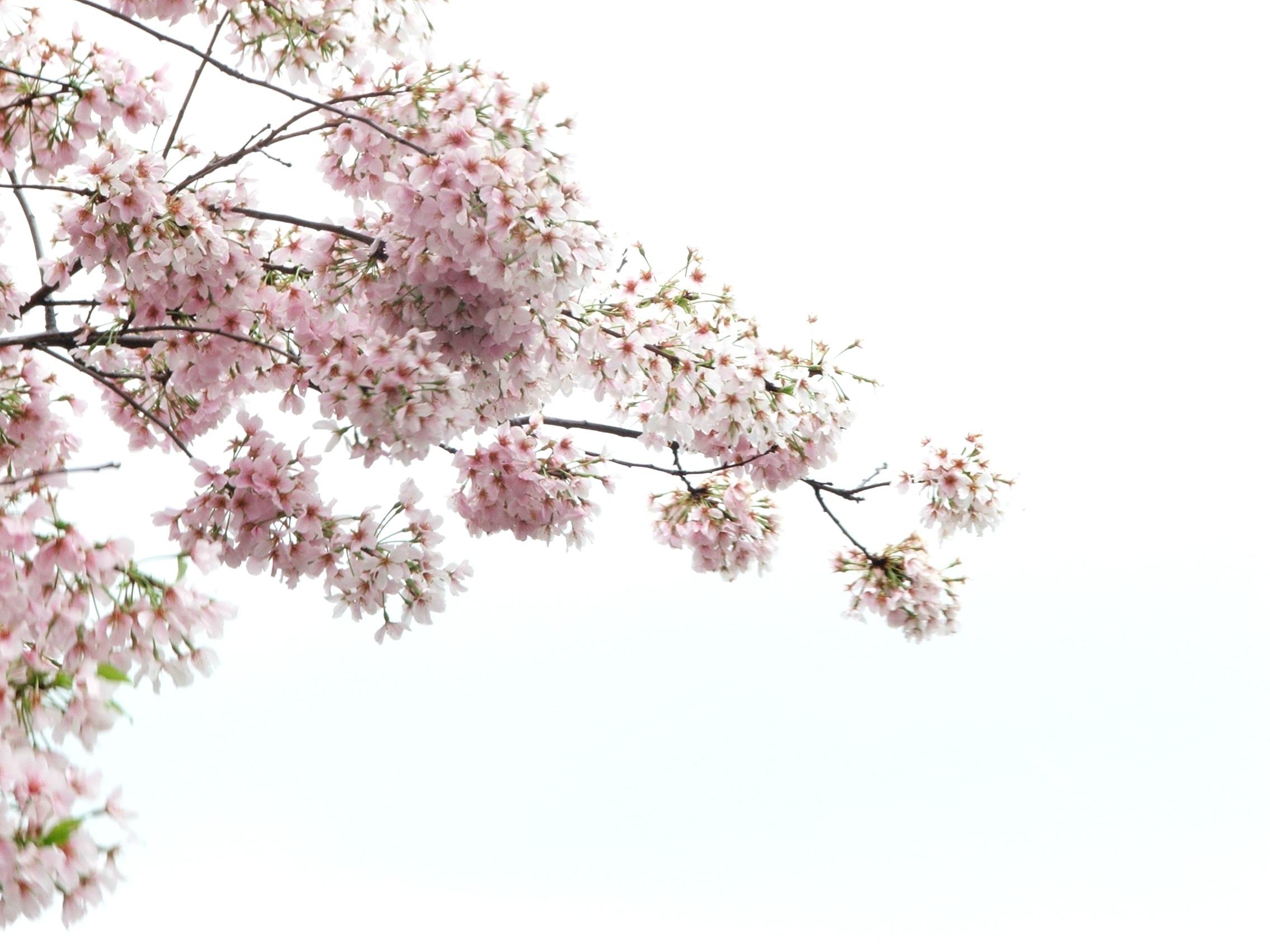 cherry blossom branch - photo #49