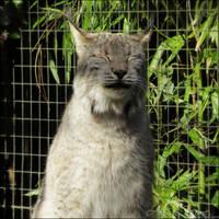 Purring Lynx
